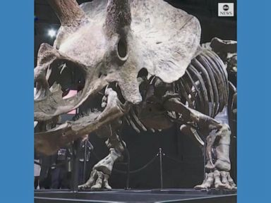 WATCH:  Largest triceratops skeleton to be auctioned