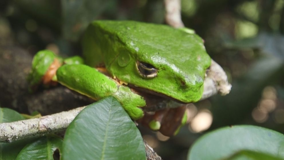 this amazonian tree frog s poison has become part of the latest