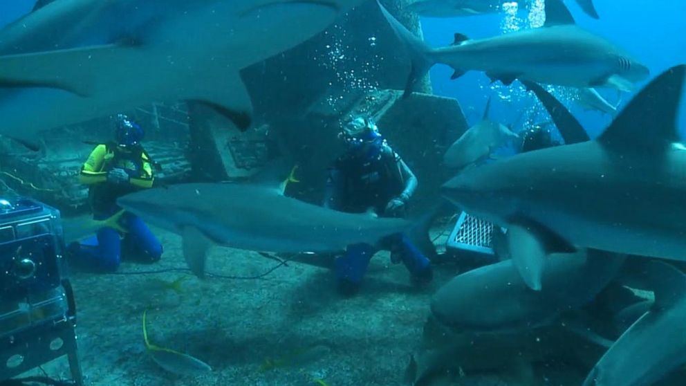"""""""Good Morning America"""" co-anchor Ginger Zee dives with reef sharks on a wreck called the """"Ray of Hope"""" off of the Bahamas."""