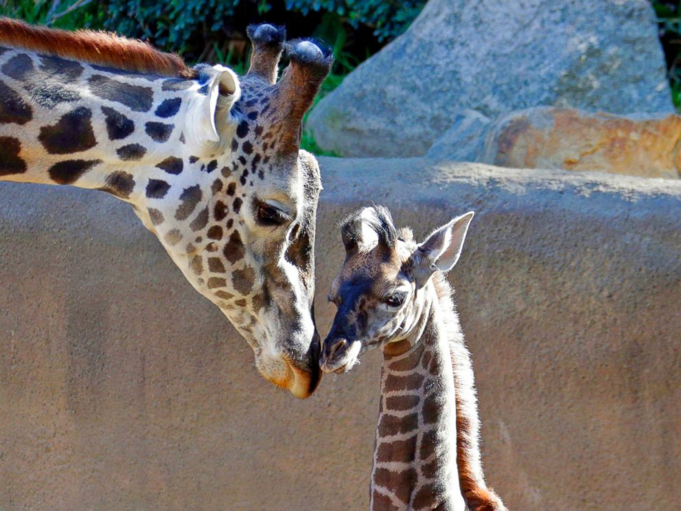 PHOTO: A baby female Masai giraffe, as yet unnamed, nuzzles its father Phillip during her public debut at the Los Angeles Zoo, Nov. 22, 2016.