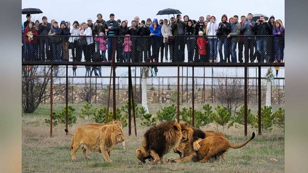 Fifty Lions Face Starvation at Crimean Safari Park
