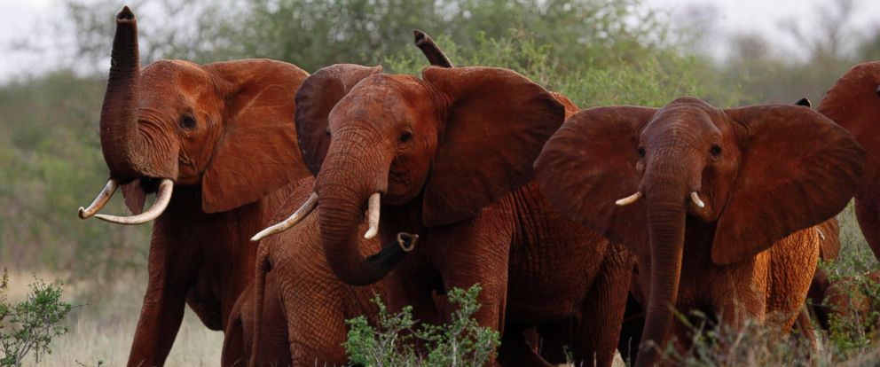 In this file photo taken Tuesday, March 9, 2010, elephants use their trunks to smell for possible danger in the Tsavo East national park, Kenya. The Trump administration is lifting a federal ban on the importation of body parts from African elephants.