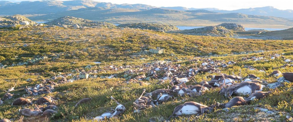 PHOTO: In this image made available by the Norwegian Environment Agency, shows some of the more than 300 wild reindeer that were killed by lightning in Hardangervidda, central Norway, on Aug. 26, 2016.
