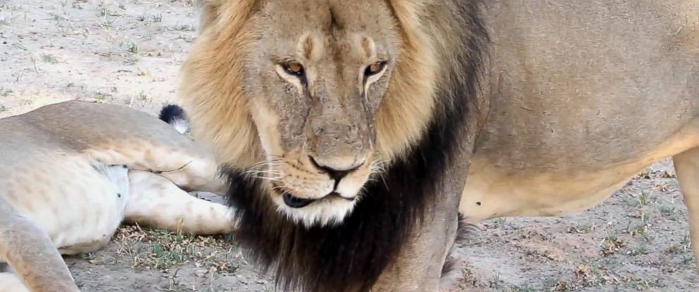 PHOTO: A well-known, protected lion known as Cecil strolls around in Hwange National Park, in Hwange, Zimbabwe in this November 2012 file photo.