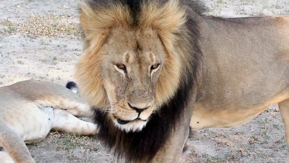 A well-known, protected lion known as Cecil strolls around in Hwange National Park, in Hwange, Zimbabwe in this November 2012 file photo.