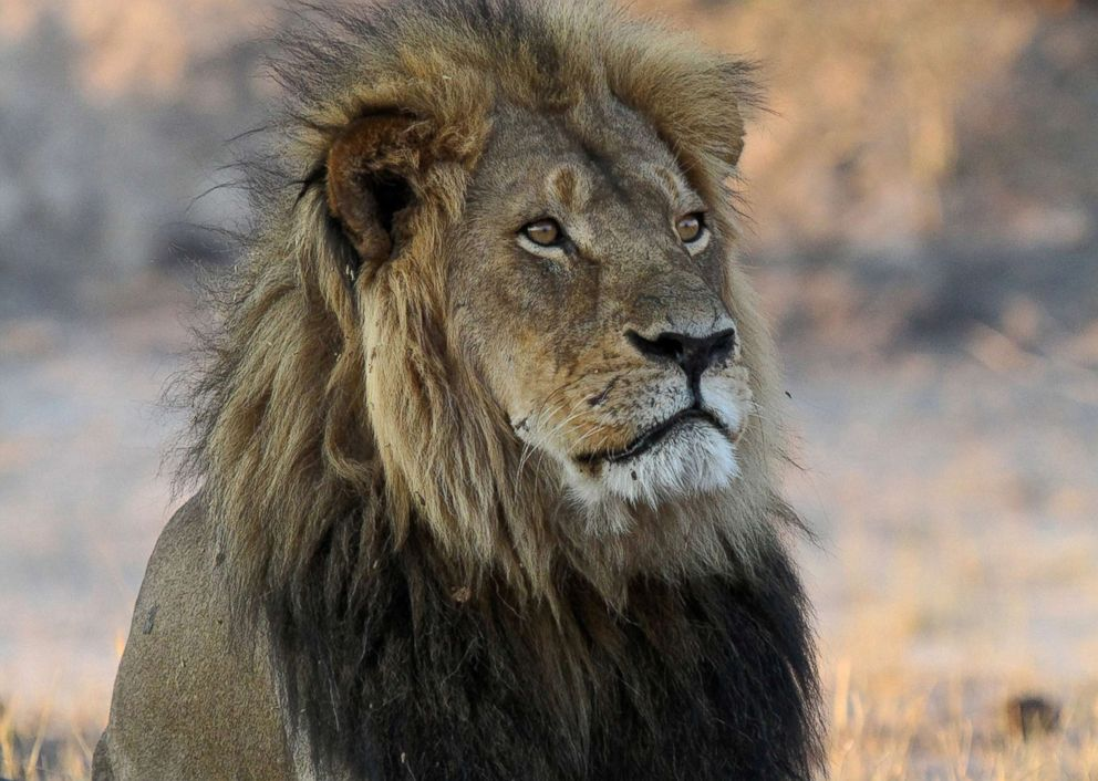PHOTO: Cecil the Lion rests near Kennedy One Water Point in Hwange National Park, Zimbabwe, Nov. 20, 2013.