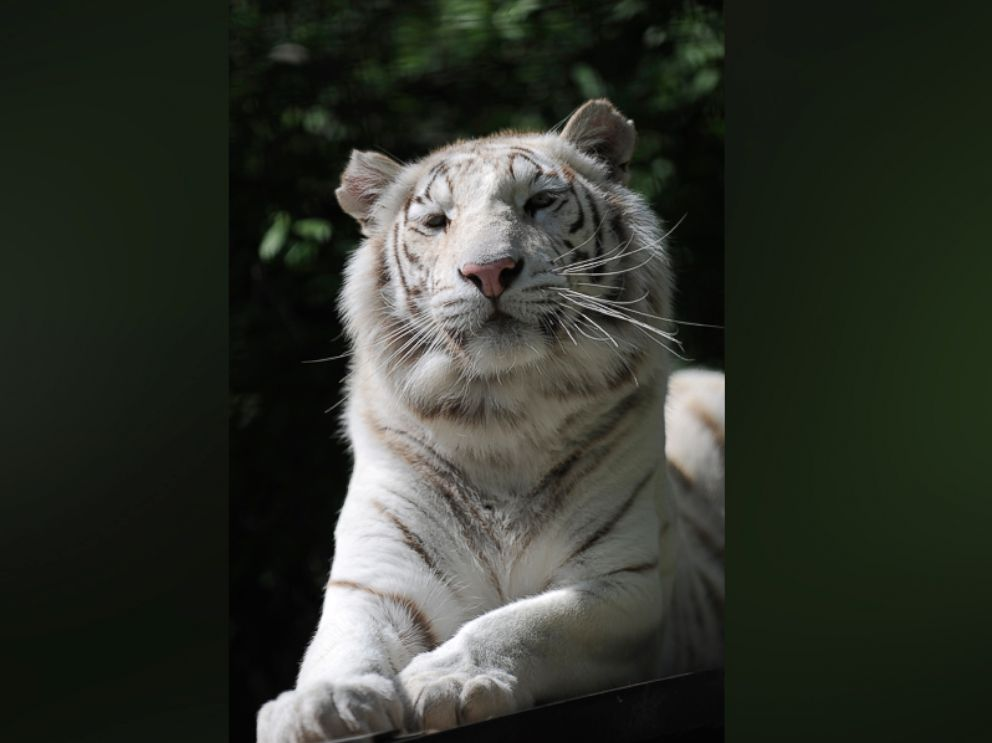 PHOTO: Tigryulia, a white Bengal tiger, is seen in the zoo in the Black Sea resort city Yalta, Crimea in this file photo from May 11, 2012.
