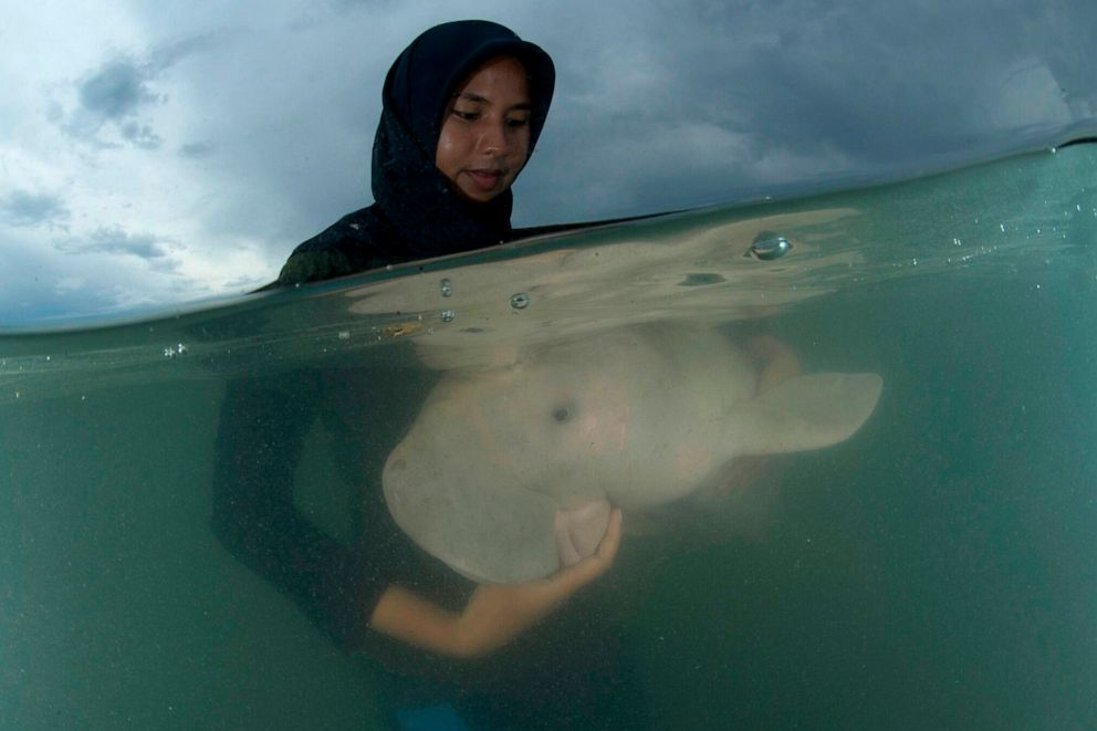 PHOTO: An official of the Department of Marine and Coastal Resources feeds sea-grass spread to Marium, the baby dugong lost from her mom in Libong island, Trang province southern Thailand, May 23, 2019.