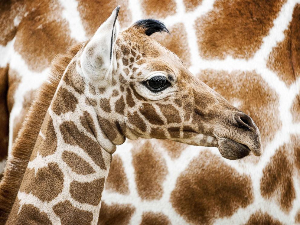 PHOTO: A newborn reticulated giraffe is seen for the first time in the savannah habitat at Artis Zoo in Amsterdam, Nov. 21, 2016.