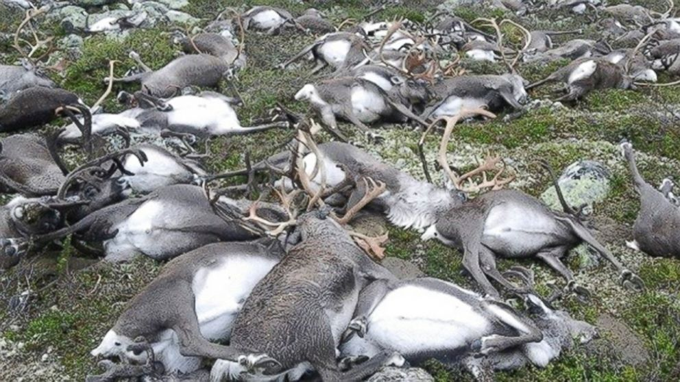 Some 323 dead wild reindeers struck by lightning are seen littering a hill side on Hardangervidda mountain plateau in central Norway, on August 27, 2016.