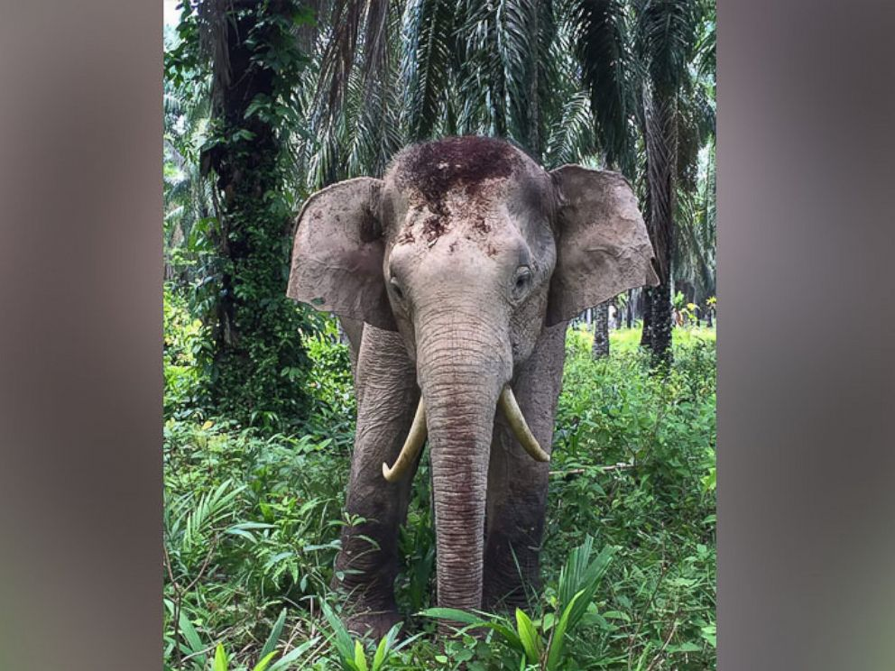 PHOTO: This undated handout picture released on Aug. 11, 2016 by the Sabah Wildlife Department shows an elephant with reversed tusks at a palm oil planation in the Malaysian state of Sabah on Borneo island.