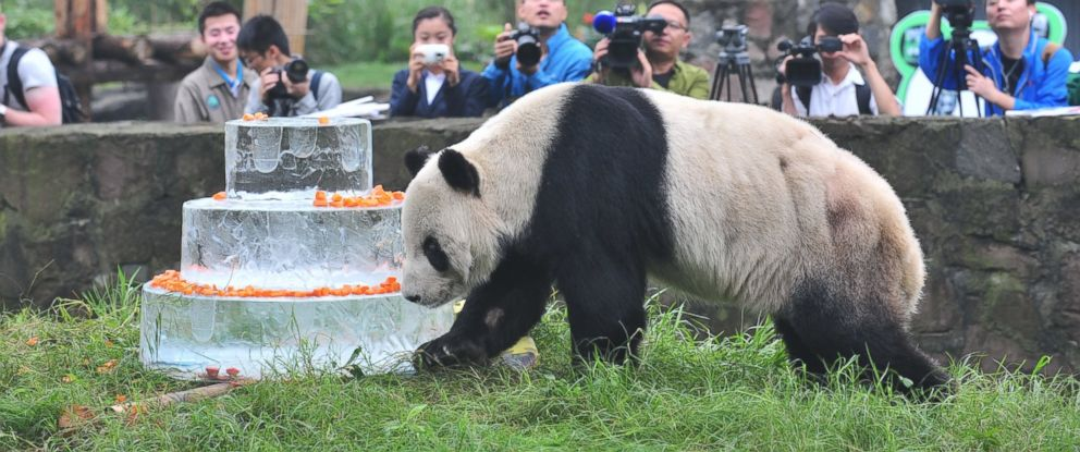 PHOTO Giant Panda Pan Walks Near A Frozen Cake During Its 30th Birthday Celebration