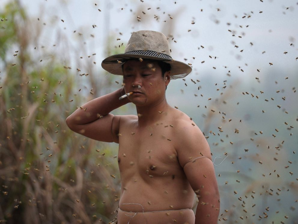 PHOTO: This picture taken on April 9, 2014 shows She Ping, a 34 year-old local beekeeper, preparing to wear bees on a small hill in southwest Chinas Chongqing.
