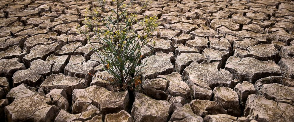 PHOTO: Weeds grow in dry cracked earth that used to be the bottom of Lake McClure, March 24, 2015, in La Grange, Calif.