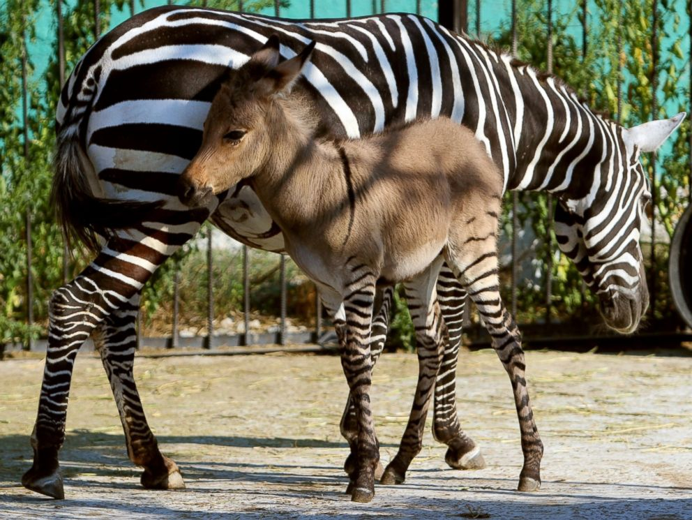 PHOTO: A hybrid of a zebra and a donkey plays with his mother at the Taigan zoo park outside Simferopol, Crimea on Aug. 5, 2014.