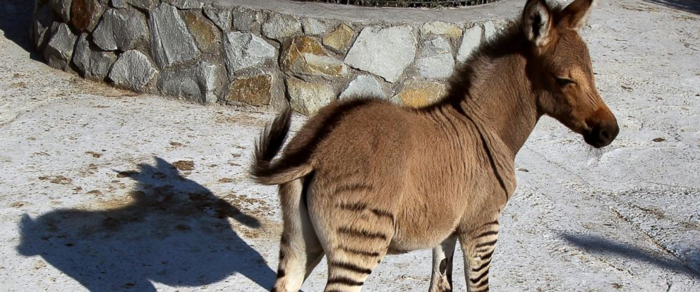 PHOTO: A hybrid of a zebra and a donkey stands at the Taigan zoo park outside Simferopol, Crimea on Aug. 5, 2014.