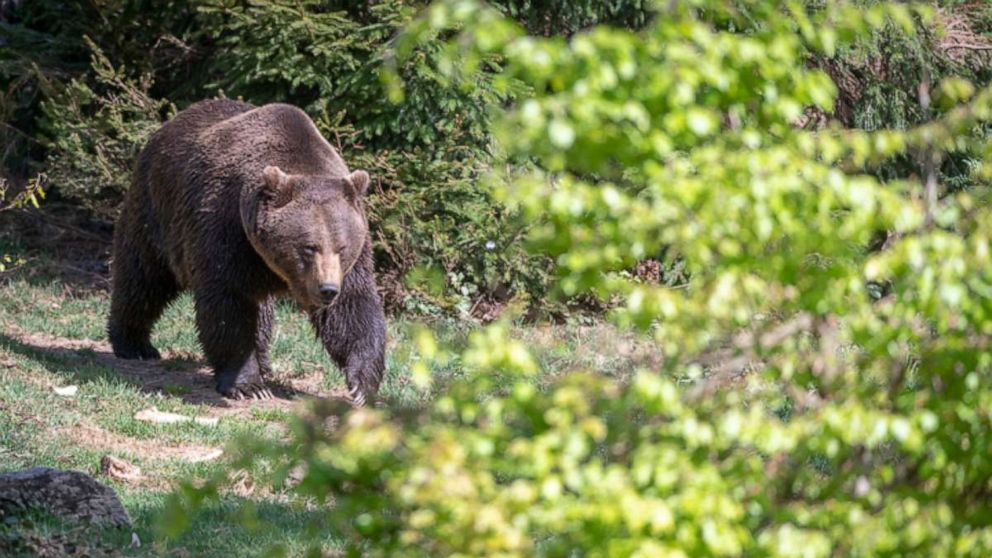 Grizzly bear mauls hunter to death in first-of-its-kind attack in largest U.S. national park
