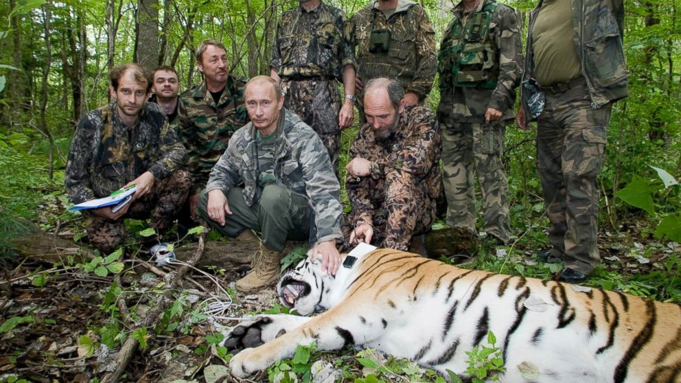 Vladimir Putin S Tiger Devours A Bear In Russia Abc News