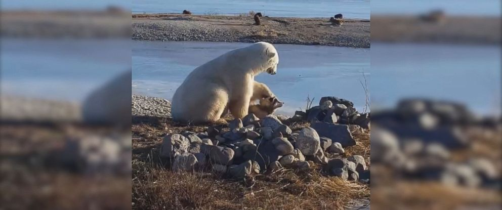 PHOTO: David de Meulles, a tour guide for Northstar Tours in Canada, captured footage of a polar bear appearing to cuddle and pet a dog in Manitoba.
