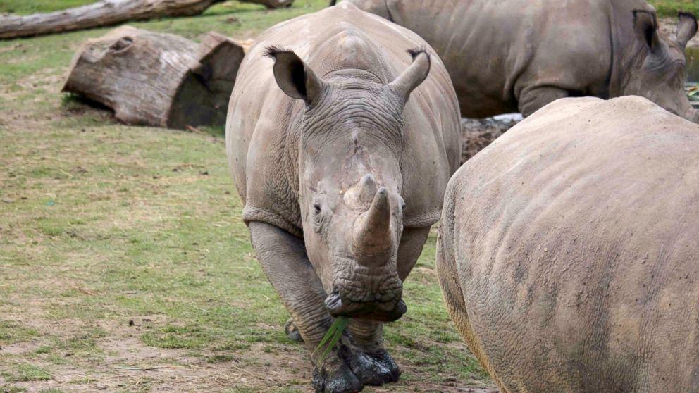 https://s.abcnews.com/images/International/HT-rhino-poached-jef-170307_16x9_992.jpg