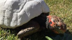 Tortoise Burned in Fire Gets Custom 3-D-Printed Shell - ABC News
