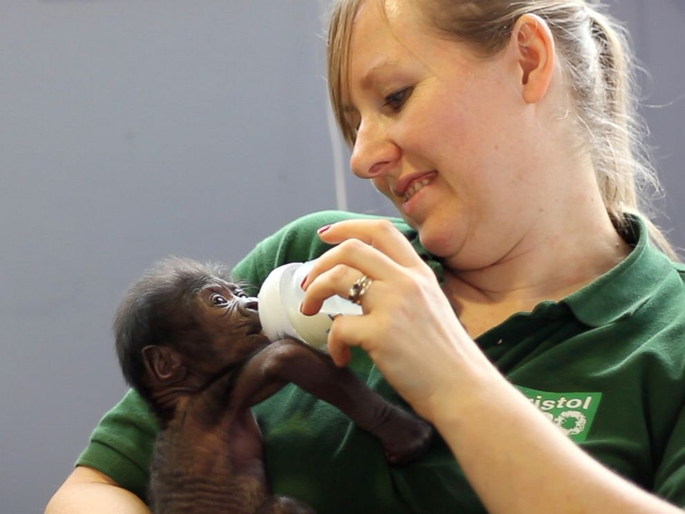 PHOTO: The baby Western lowland gorilla weighed in at 2 pounds and 10 ounces when she was born.