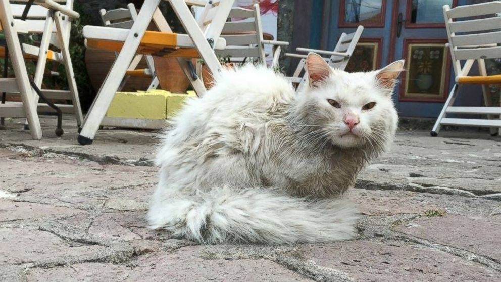 Dias the cat is seen in the streets of Lesvos, Greece, after being separated from his family.