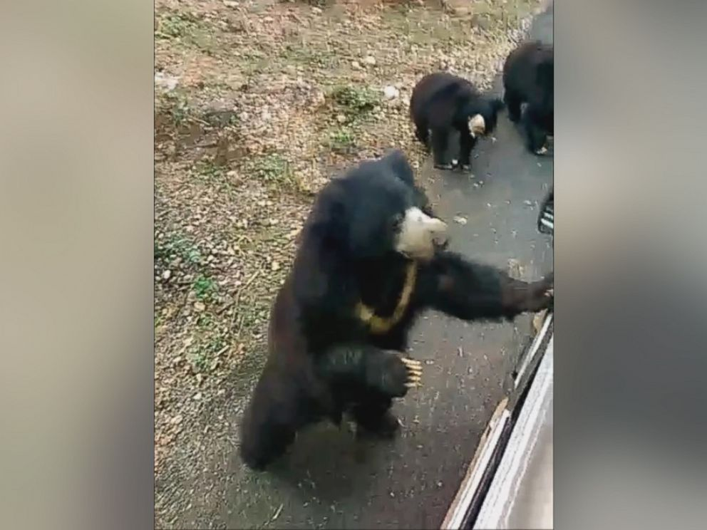 PHOTO: International Animal Rescue posted a video to Facebook on Jan. 13, 2016, showing nine bears chasing after a food truck in IAR-run Agra Bear Rescue Facility in India.