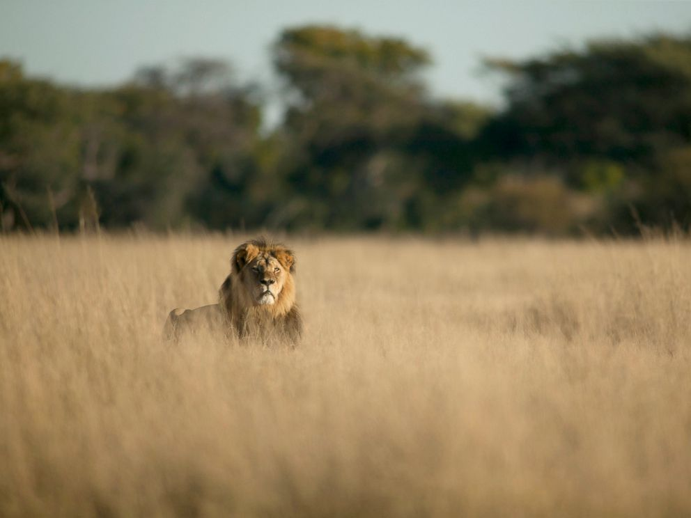 PHOTO: Cecil, Zimbabwes famous lion, has reported been killed by a hunter.