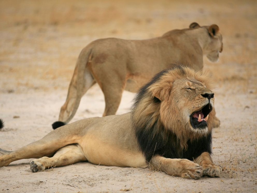 PHOTO: Cecil, Zimbabwes famous lion, has reportedly been killed by a hunter.