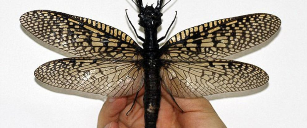 PHOTO: A giant dobsonfly is held up by a staffer at the Insect Museum of West China in Sichuan.