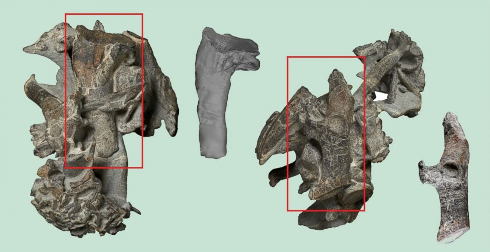 PHOTO: The upper arm bone (humerus, top) and a shoulder girdle bone (coracoid, bottom) of the Paleocene giant penguin Kumimanu biceae compared with the corresponding bones of one of the largest known fossil penguins.