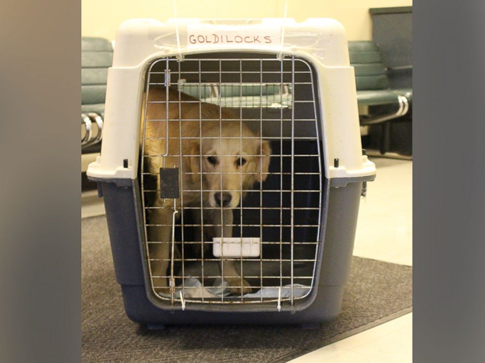 PHOTO: Goldilocks is one of the first Golden Retrievers from the Rescue Mission of Love operation to arrive in Toronto. The previous rescues were flown into John F. Kennedy airport in New York.