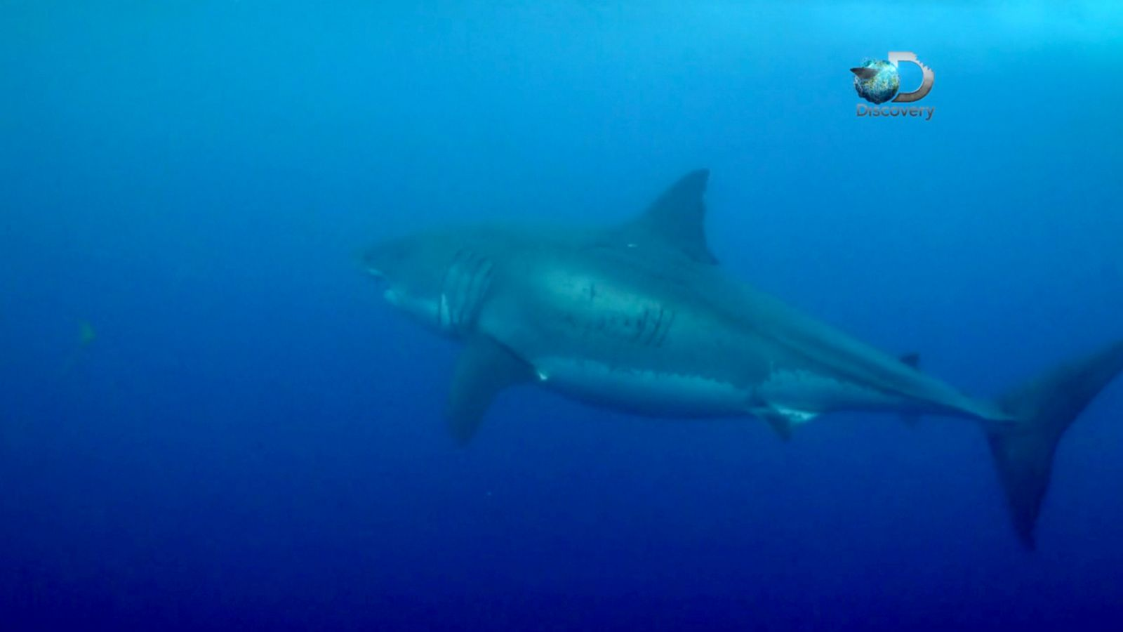 Video Footage May Reveal the Largest Great White Shark Ever