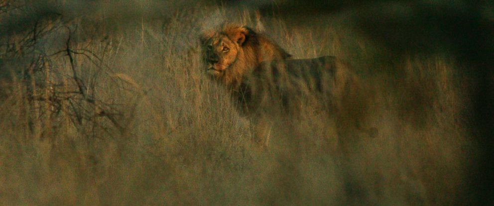 PHOTO: A lion named Jericho is pictured in this photo provided by the Wildlife Conservation Research Unit.