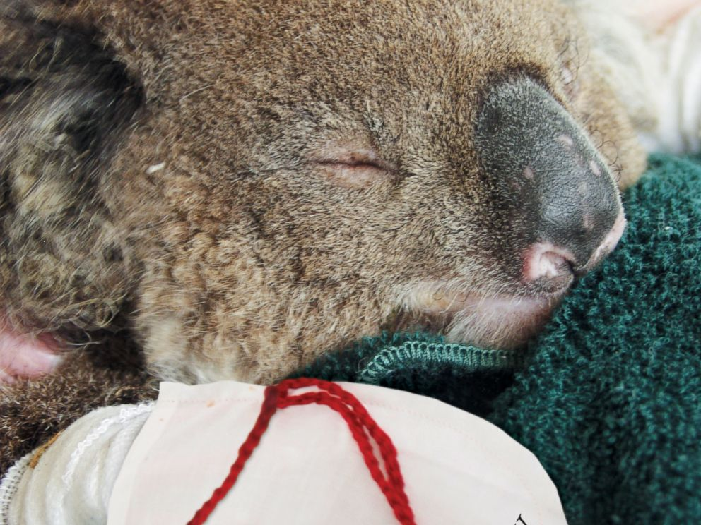 PHOTO: A koala received burn pads for its paws after getting caught in a brush fire in the Australian Outback.