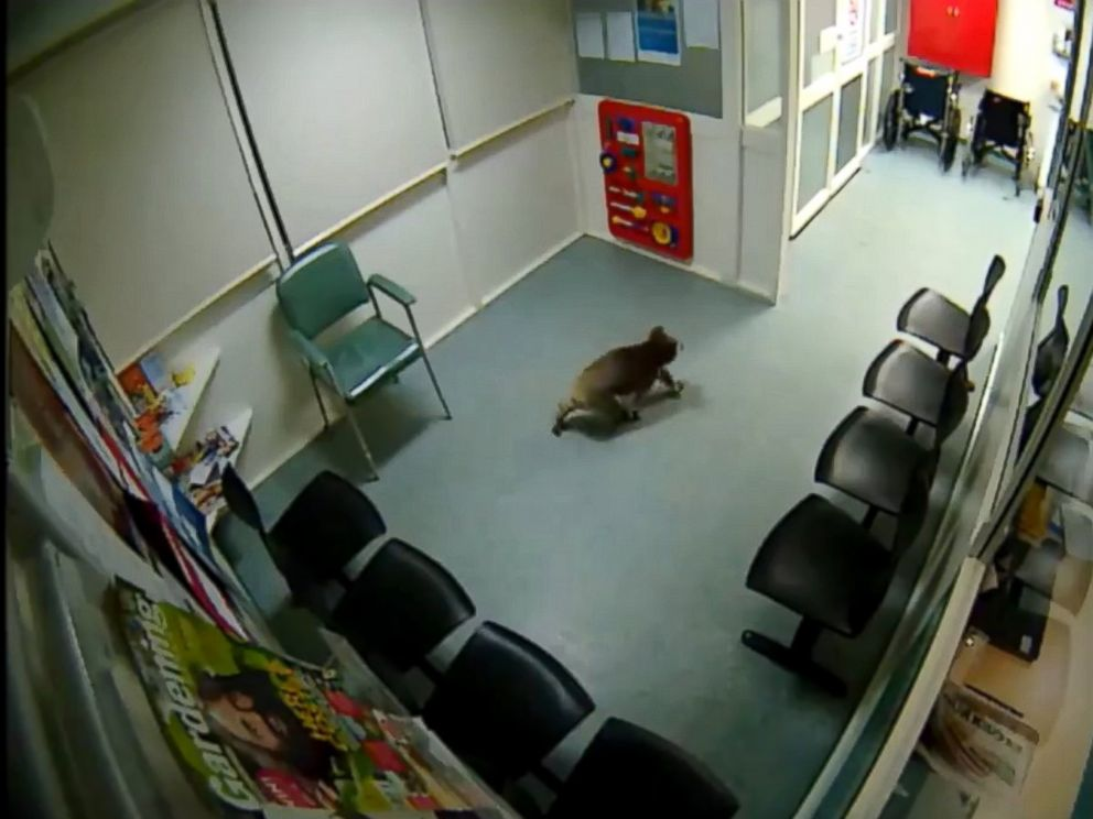 Koala Wanders Into Australian Hospital Waiting Room - ABC News