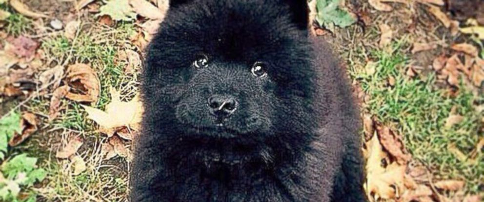 """PHOTO: Misiu Green, 3-month-old Chow Chow puppy, is seen in this photo posted to Instagram on Oct. 16, 2014 with the caption, """"Please sir, can I have some more #please."""""""