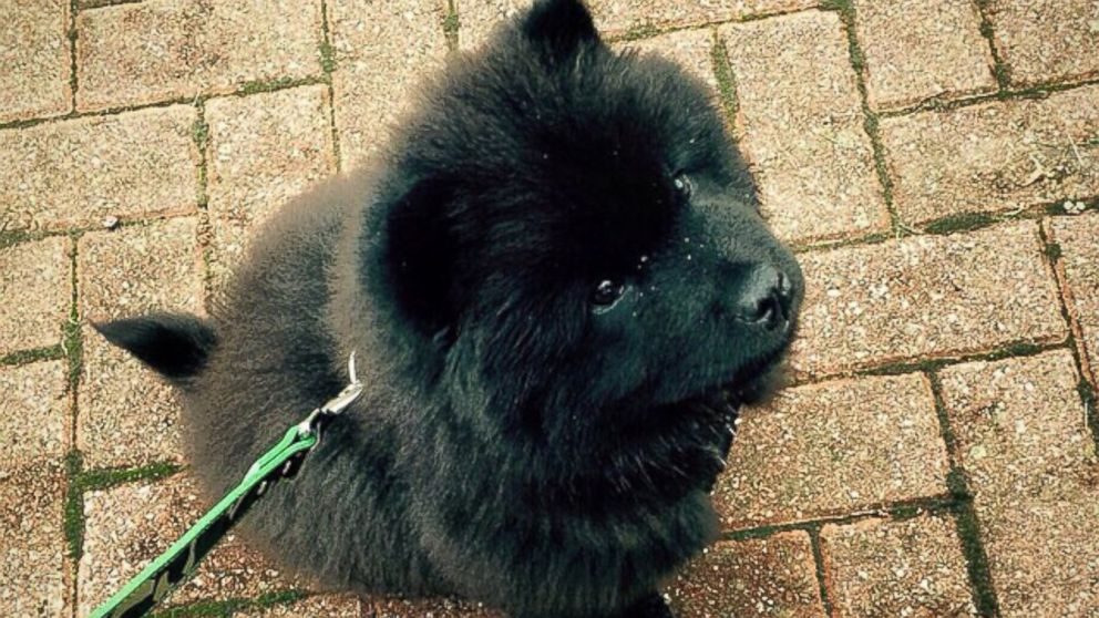 """Misiu Green, 3-month-old Chow Chow puppy, is seen in this photo posted to Instagram on Oct. 20, 2014 with the caption, """"What time is it..."""""""