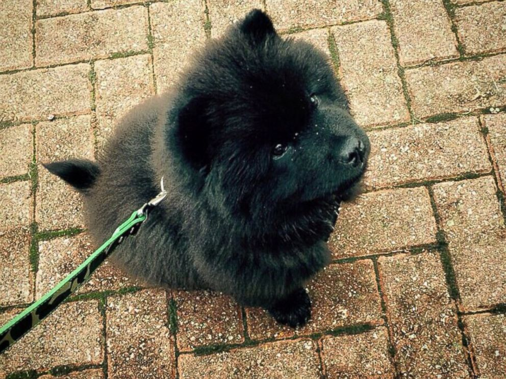 PHOTO: Misiu Green, 3-month-old Chow Chow puppy, is seen in this photo posted to Instagram on Oct. 20, 2014 with the caption, What time is it...