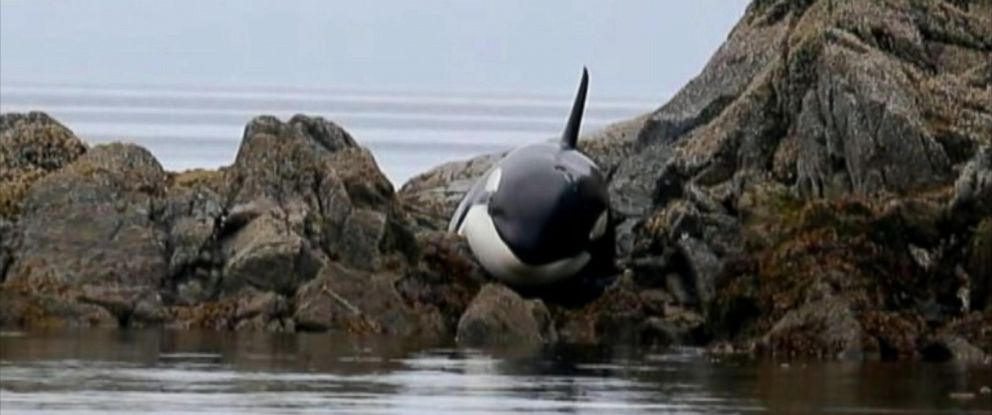 PHOTO: An orca whale was stranded in British Columbia for six hours on rocks before it could be saved as a tide came in.