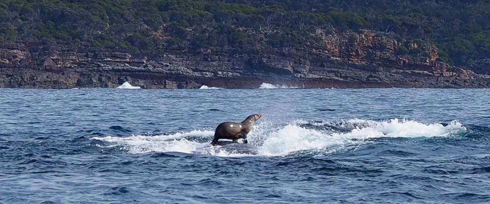 PHOTO: Seal is seen to be riding on the back of a humpback whale in Sydney Harbor.