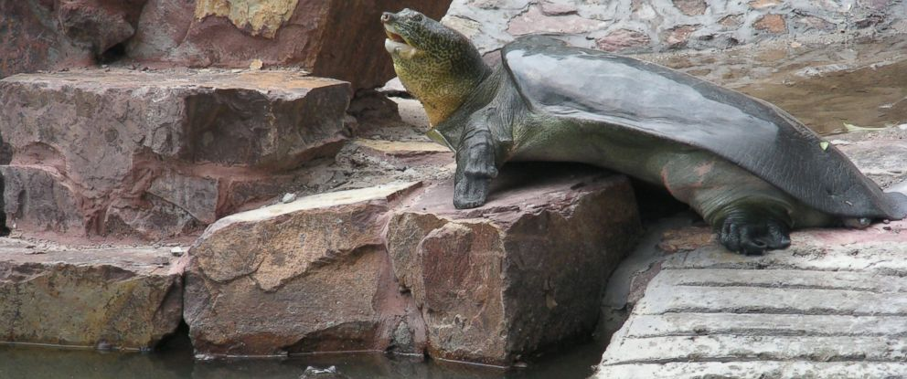 PHOTO: The female Yangtze giant softshell turtle is seen basking and the male can be seen in the water.