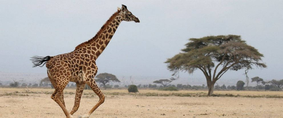 PHOTO: A giraffe runs in Amboseli National park, Kenya, Aug. 26, 2016.