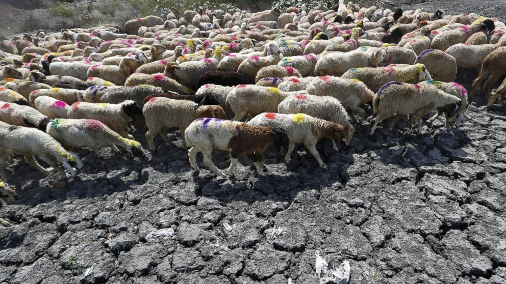 Sheep cross a parched area of a dried-up pond on a hot summer day on the outskirts of New Delhi, May 27, 2015.