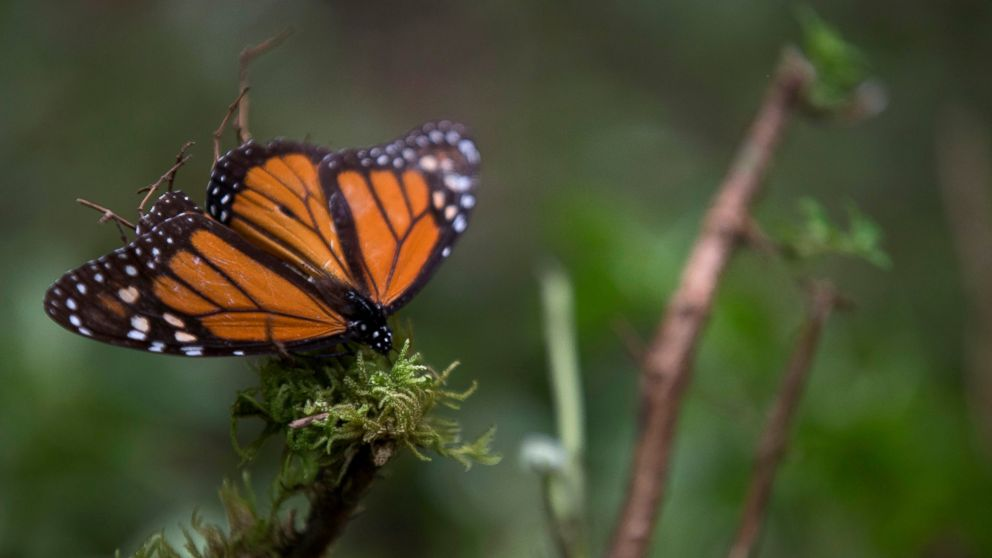 Monarch population up 144 pct at Mexico wintering grounds