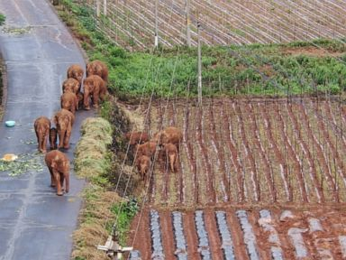 China's wandering elephants on the move again