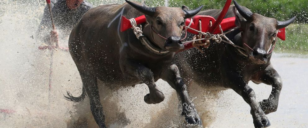 A Thai farmer controlling a pair of buffaloes competes in the flooded field during the annual Wooden Plow Buffalo Race in Chonburi Province, southeast of Bangkok, Thailand, Saturday, July 13, 2019. The farmers are celebrating the start of the sowing