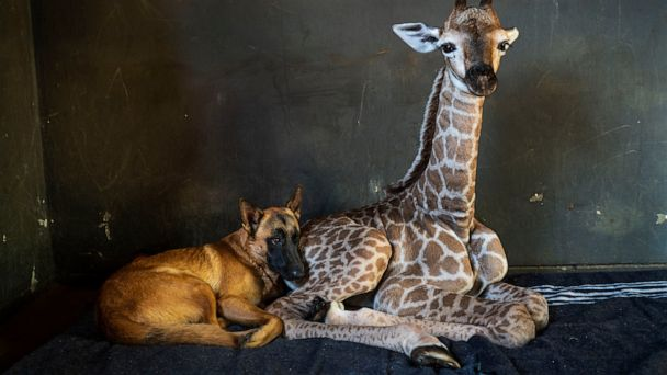 Abandoned baby giraffe befriended by dog in Africa dies