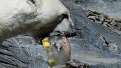 A polar bear enjoys an ice cream, prepared from fish, fruits and vegetables, on a hot and sunny day at the Prague Zoo, Czech Republic, Thursday, June 27, 2019. (AP Photo/Petr David Josek)
